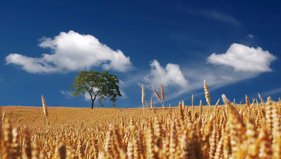 Svelata la storia genetica del grano tenero
