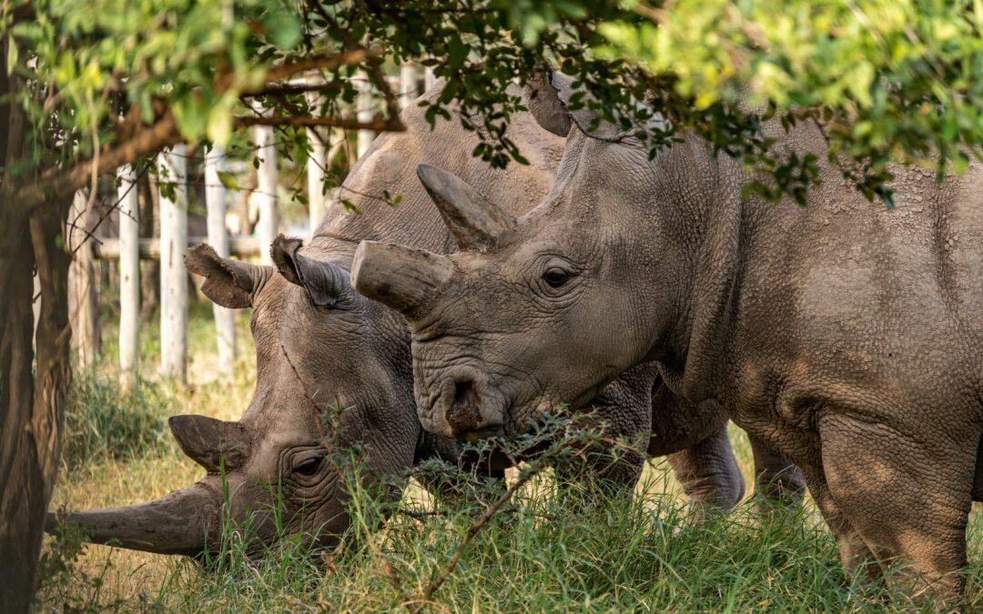 Scienza: Rinoceronte bianco del Nord: ora sono 12 gli embrioni puri