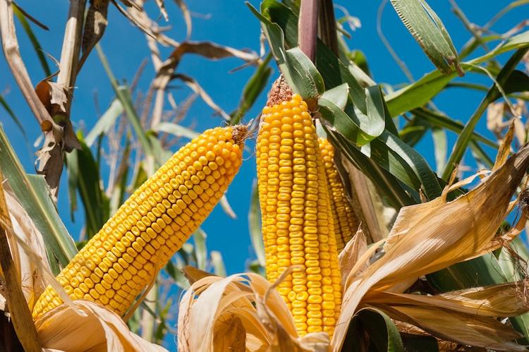 Al via progetto per rendere il mais più resistente al climate change