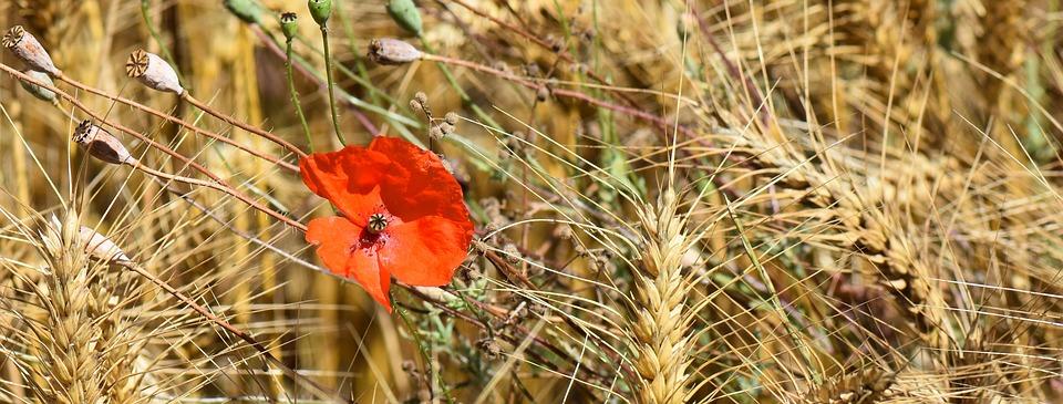 Scienza: l'evoluzione del grano raccontata dai geni responsabili dell'imbrunimento della farina