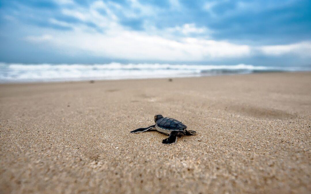 """Scienza: La """"trappola evolutiva"""" dell'inquinamento plastico per le piccole tartarughe marine"""
