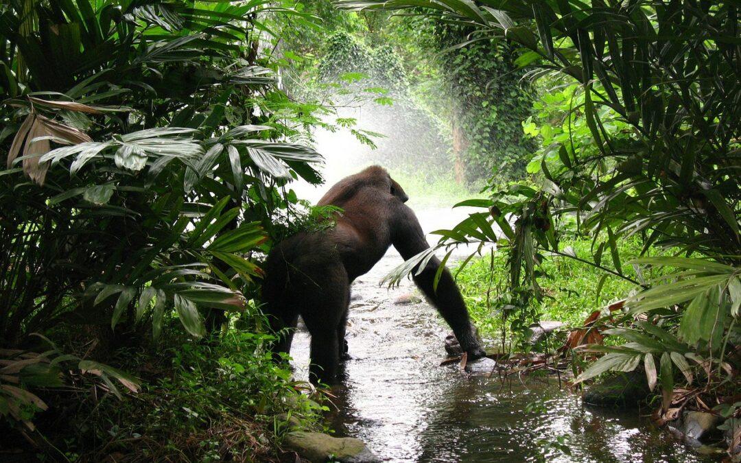 Tutti i rischi dei gorilla con il Covid